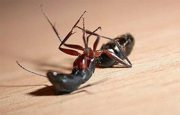 Великий воин гель от муравьев