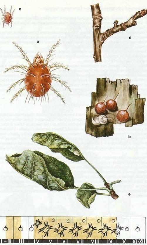 Красный плодовый клещ