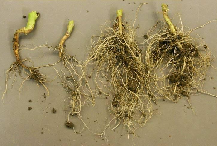 Как бороться с капустной мухой