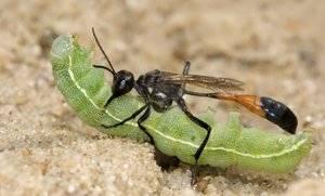 Как выглядит капустница бабочка