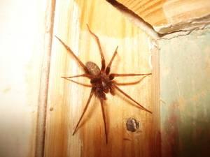 Большой черный паук в доме