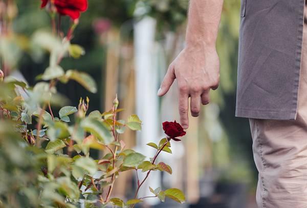 Чем побрызгать розы от тли