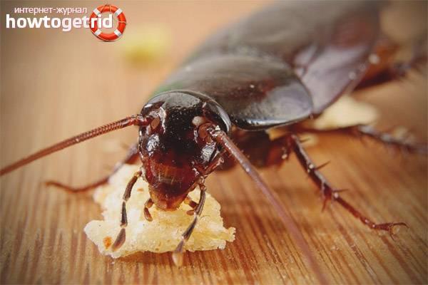 Как вывести тараканов в домашних условиях быстро