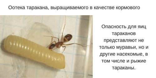 Скорость таракана