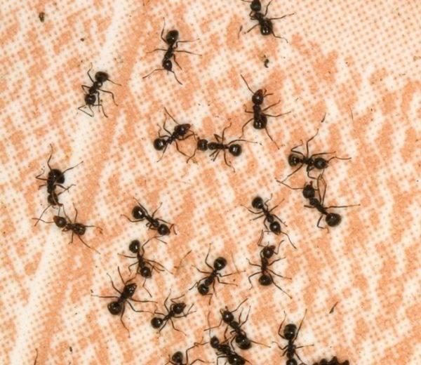 Как вывести черных муравьев