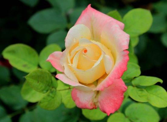 Средство от паутинного клеща на розах