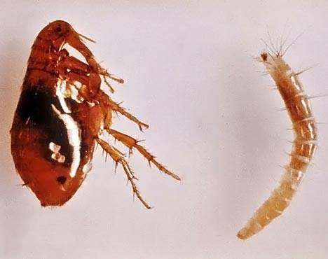 Блохи личинки