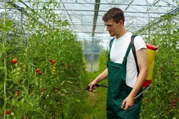 Белая мелкая мошка на помидорах