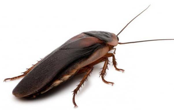 Появились тараканы что делать