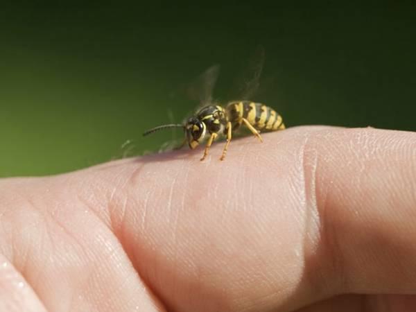 Полезен ли укус осы
