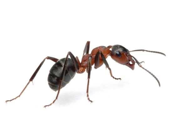 Как убрать муравьев из дома