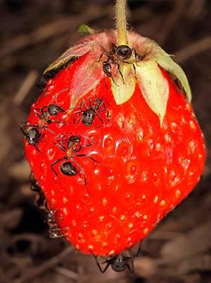 Что не любят муравьи садовые
