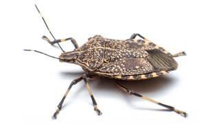 Вонючка насекомое