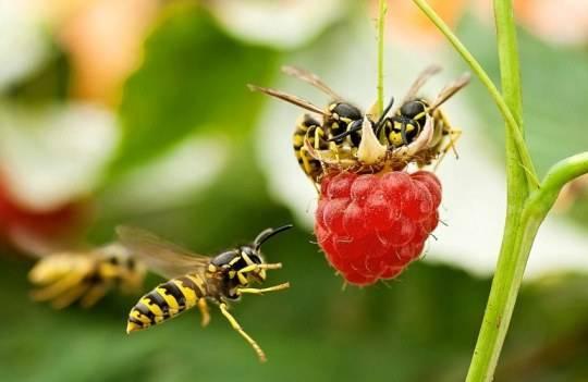 Аллергия от укуса осы