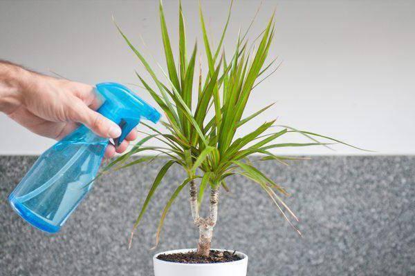 Мучнистый червец на комнатных растениях как бороться