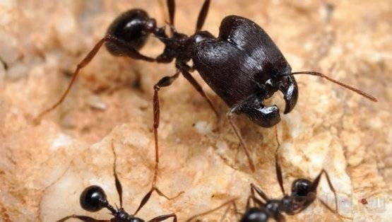 Как вытравить муравьев