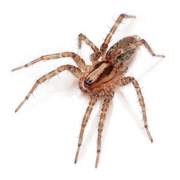 Серый домашний паук