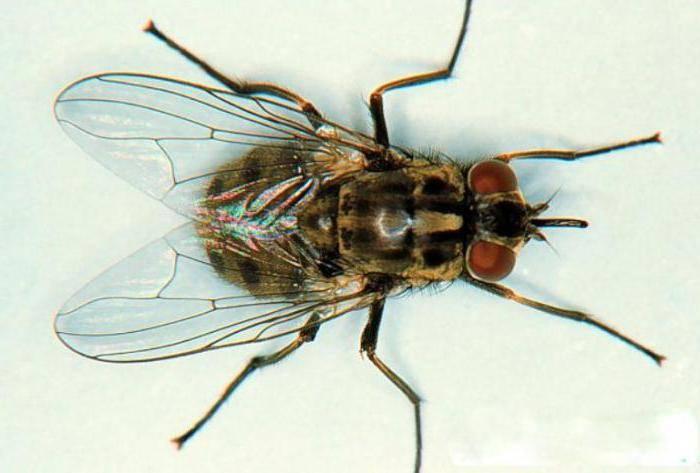 Почему мухи злые в августе