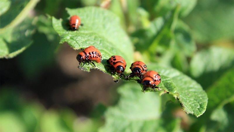 Эффективное средство от колорадского жука
