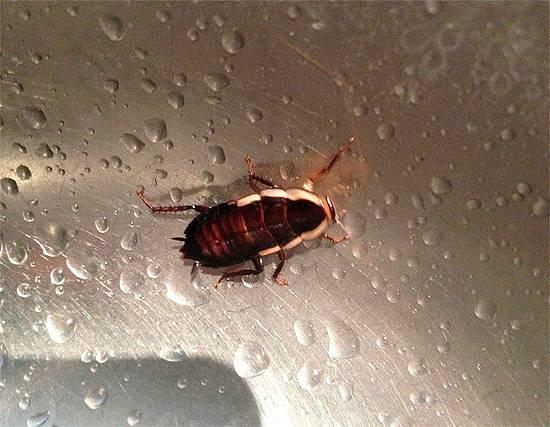 Продолжительность жизни таракана