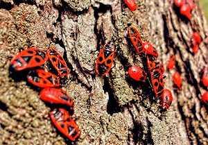 Солдатики жуки
