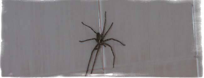 К чему паук в ванной