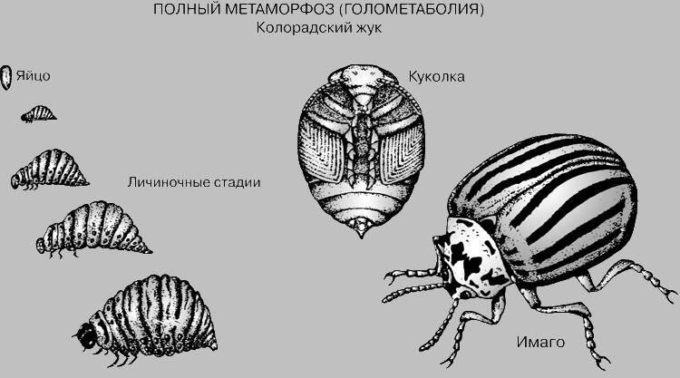 Стадии развития колорадского жука