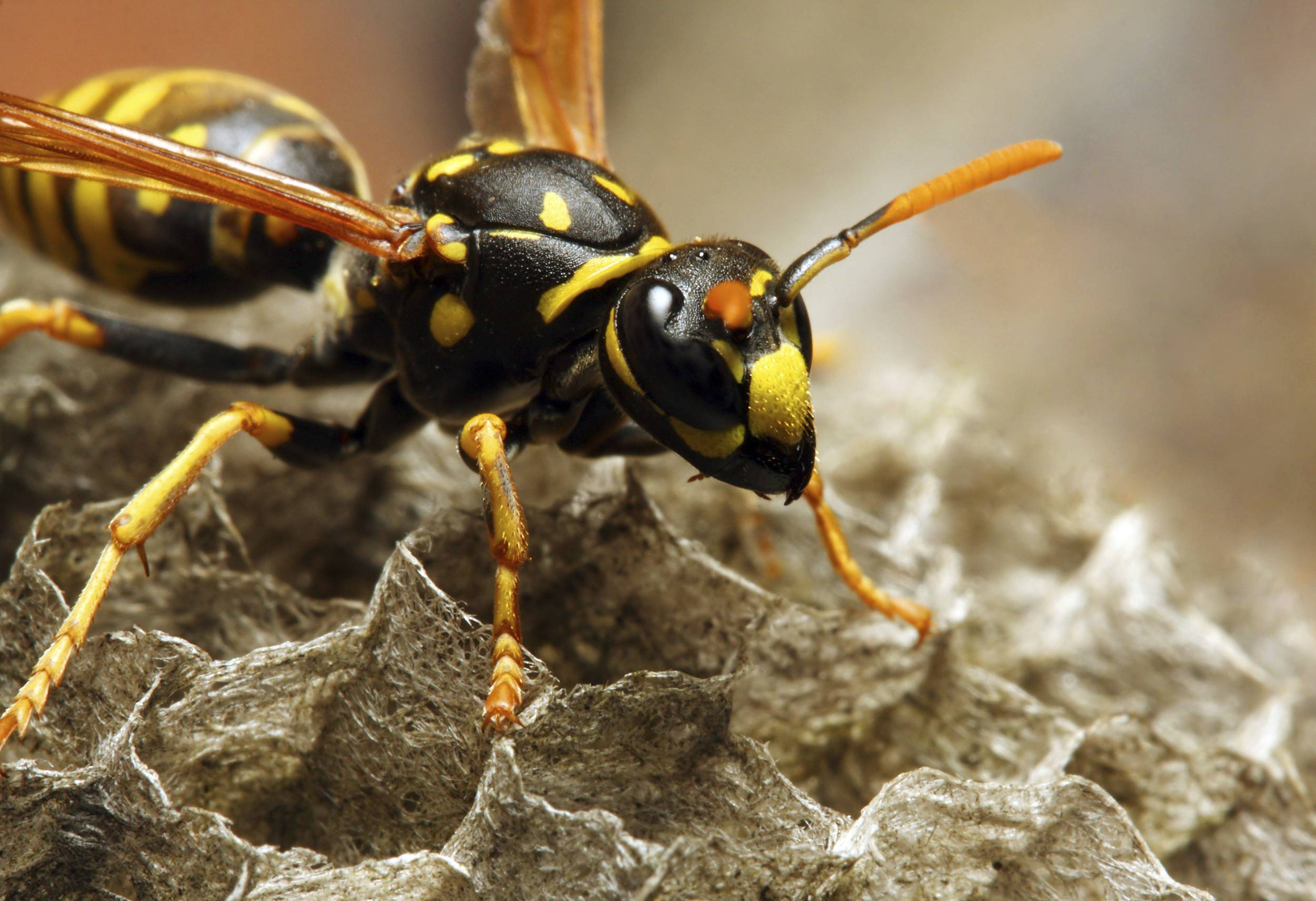 The Common wasp.