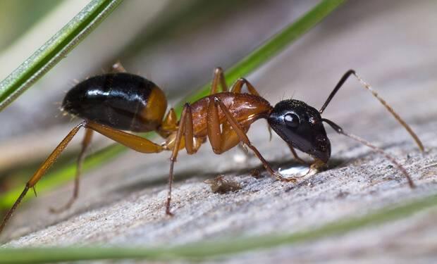 Как вывести садовых муравьев
