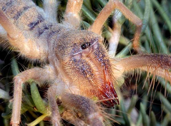 Сольпуга паук
