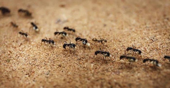 Маленькие муравьи в квартире