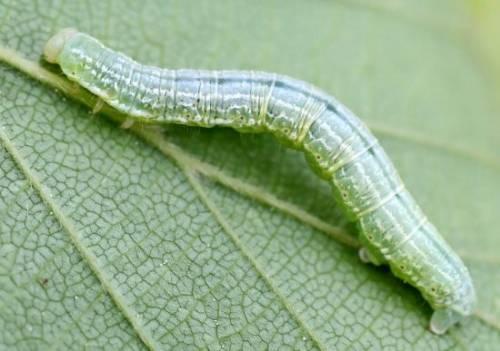 Борьба с гусеницами