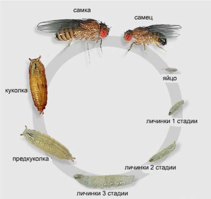 Мухи дрозофилы: фото, описание, размножение, откуда берутся и как от них избавится в квартире и дома