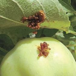 Как бороться с плодожоркой