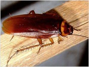 Стоит ли бояться тараканов