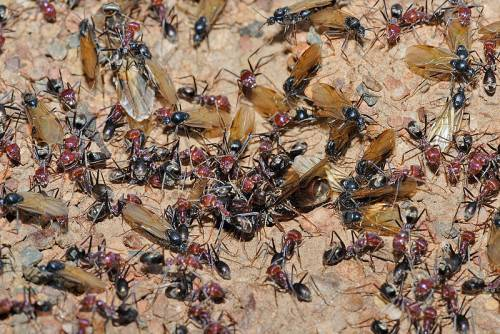 800px-Meat_eater_ant_nest_swarming