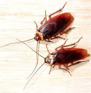 Замучили тараканы как избавиться