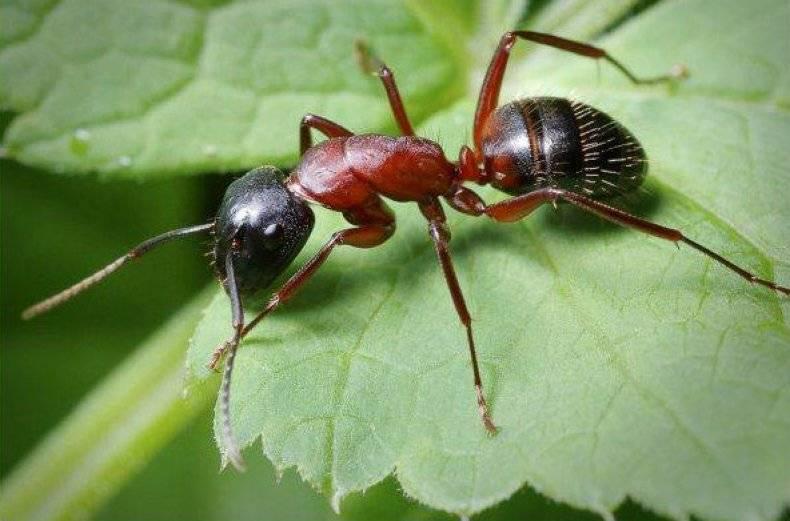 Чего боятся муравьи в огороде