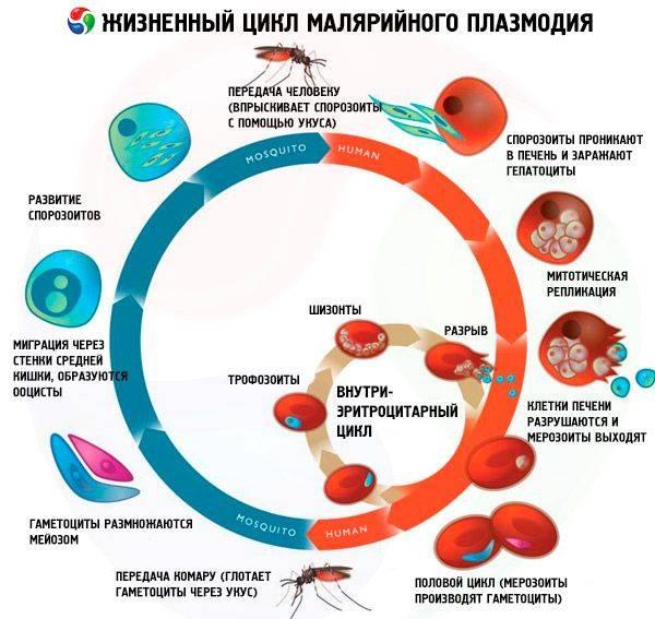 Малярийный плазмодий жизненный цикл