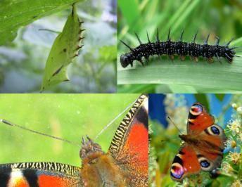 Стадии развития бабочки
