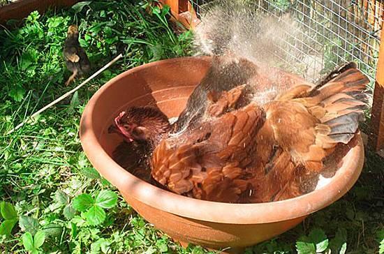 Как вывести куриных вшей