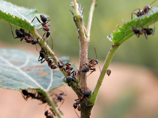 Как бороться с муравьями в теплице