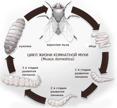 Продолжительность жизни мухи