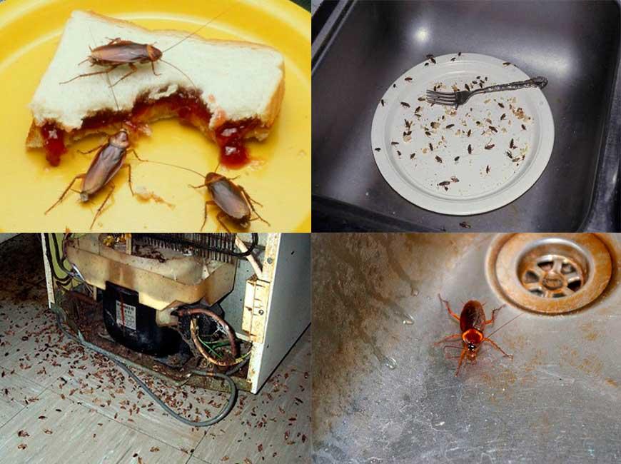 Чем питаются тараканы