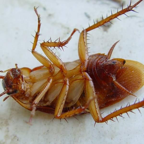 Народное средство от тараканов