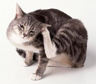 Как выглядят кошачьи блохи