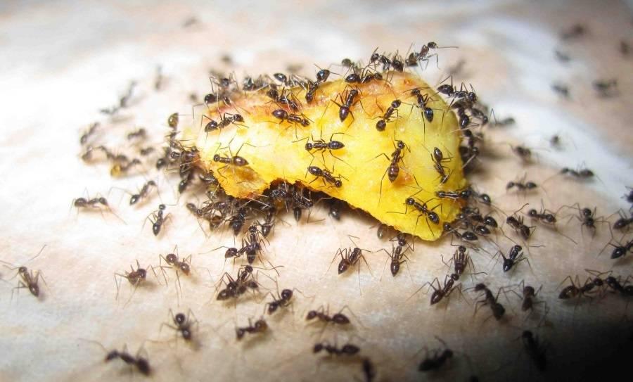 Что делать если появились муравьи дома