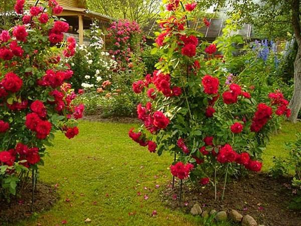 Как спасти розу от паутинного клеща