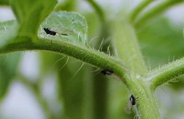 Черные мошки на помидорах