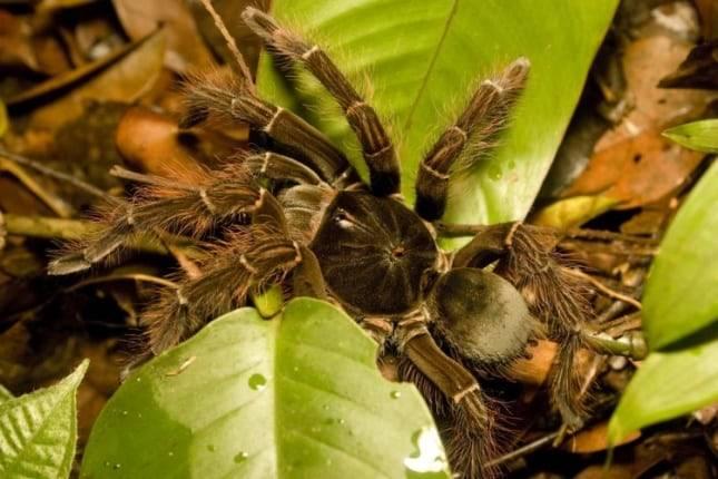 Гиганты пауки